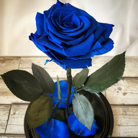 Китайски учени създадоха първата истинска синя роза, като използваха бактерия,