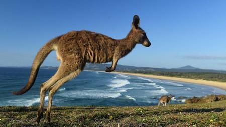 Учените разкриха причината за странното поведение на кенгуру в Югоизточна